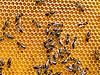 ID 3049537 | 꿀벌 | 높은 해상도 사진 | CLIPARTO