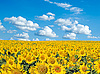 向日葵 | 免版税照片