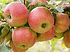 ID 3059334 | Czerwone jabłka | Foto stockowe wysokiej rozdzielczości | KLIPARTO