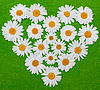 Photo 300 DPI: Camomile heart on green