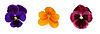 Three pansies with petal | Stock Foto
