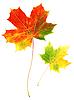 Photo 300 DPI: Two autumn maple leaves