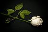 White rose | Stock Foto