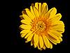 黄色的花非洲菊 | 免版税照片