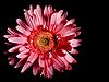 红色花非洲菊 | 免版税照片