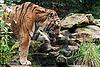 Tiger   Stock Foto