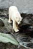 Eisbär auf den Felsen | Stock Photo