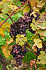 Blue grape grows with yellow leaves | Stock Foto
