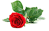 Red rose with green stem | Stock Foto