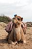Camel sits | Stock Foto