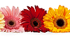 三非洲菊 | 免版税照片