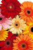 非洲菊背景 | 免版税照片
