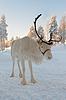 圣诞驯鹿 | 免版税照片