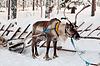 驯鹿和雪橇 | 免版税照片