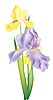 Vector clipart: iris flowers