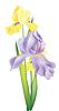 Векторный клипарт: цветы ириса