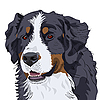 Vector clipart: Bernese Mountain Dog breed