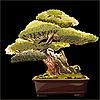 Векторный клипарт: дерево бонсай на черном