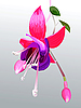 Vector clipart: flower fuchsia