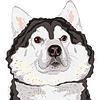 Vector clipart: portrait of dog Alaskan Malamute breed