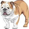 sketch dog of English Bulldog breed