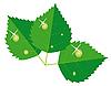 Векторный клипарт: Листья с каплями росы