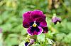 Pansy flower   Stock Foto
