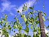 豌豆 | 免版税照片
