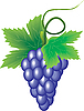 Vector clipart: branch of grapes