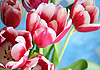 Fresh pink tulips | Stock Foto