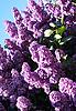 Lilac z liśćmi | Stock Foto
