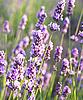 Фото 300 DPI: Лаванда цветы в качестве фона