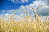 Фото 300 DPI: пшеничное поле