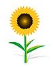 Vector clipart: Sunflower On White