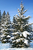 Photo 300 DPI: tree fir-tree is in-field covered by white snow