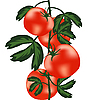 Vector clipart: Ripe tomatoes on bush