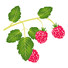 Vector clipart: Branch of ripe raspberry