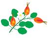 Векторный клипарт: Отделения с ягоды шиповника