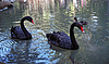 Photo 300 DPI: Two black swan on the lake and duck background