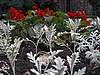 Cineraria and salvia blooming | Stock Foto