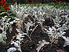 瓜叶菊和丹参开花 | 免版税照片