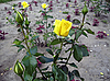 Rosas amarillas | Foto de stock