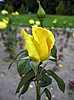 Rosa amarilla | Foto de stock