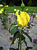 Yellow rose and the bee | Stock Foto
