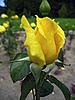 黄玫瑰 | 免版税照片