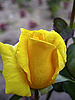 Yellow rose blossom | Stock Foto