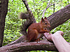 ID 3062815   Squirrel on the branch eating from female hand   High resolution stock photo   CLIPARTO
