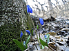 First spring flower. Scilla | Stock Foto