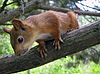 ID 3260698 | Red squirrel on branch | High resolution stock photo | CLIPARTO