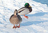 Two ducks on the snow | Stock Foto